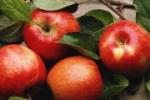 Warto jeść jabłka?